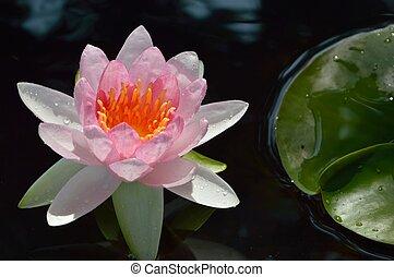 lírio água, beautyful