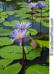 lírio água, com, flor