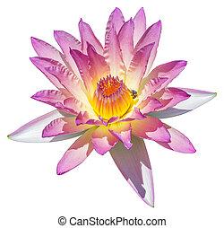 lírio água, ou, flor lotus