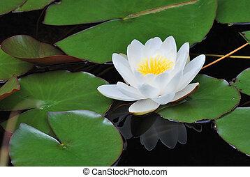 lírio, bloomed, com, reflexão