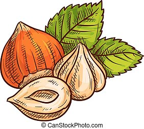 lískový ořech, s, mladický list, skica
