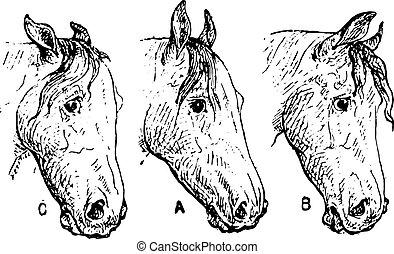 ló, fülek, szüret, engraving.