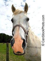 ló, külső, kaszáló, füves táj, portré, fehér
