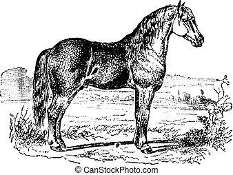 ló, szüret, engraving.