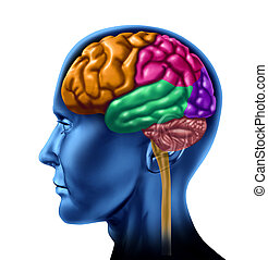 lóbulo, cérebro, seções