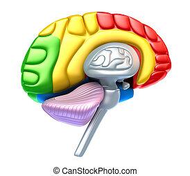 lóbulo, cerebro, cerebelo