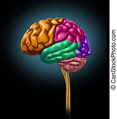 lóbulo, cerebro, secciones