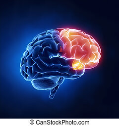 lóbulo, frontal, -, cerebro, humano, radiografía, vista