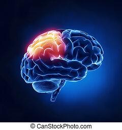lóbulo, -, parietal, cerebro, humano, radiografía, vista