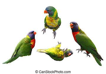 lóripapagáj, madarak, kollázs
