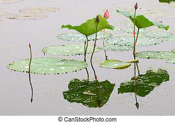 lótusz, rügy, és, levél növényen
