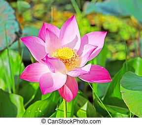 lótusz, vízi, növényvilág