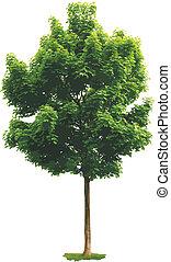 lönn, träd.