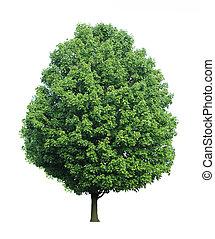 lönn träd