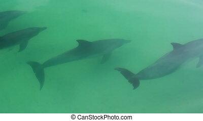 lövés, közül, delfinek, úszás, együtt