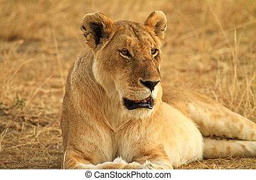 löwe, auf, wiese, in, kenia