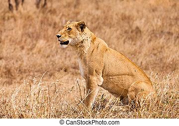 löwe, gras, weibliche , sitzen