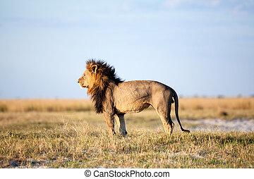 löwe, in, afrikanisch, savanne