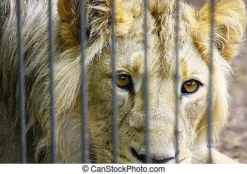 löwe, in, der, zoo