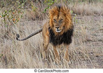 löwe, masai mara, mali