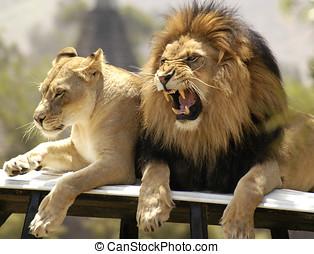 löwe, und, löwin