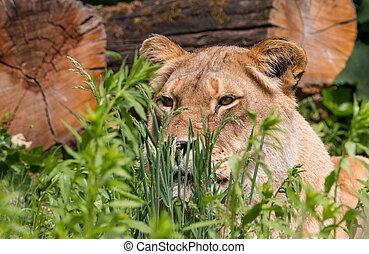 löwin, in, der, gras