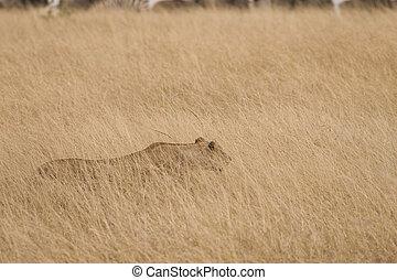 löwin, jagen