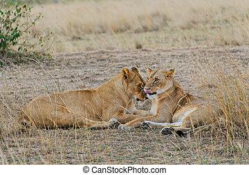 löwinnen, masai mara, zwei