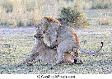 løve, par, mating.