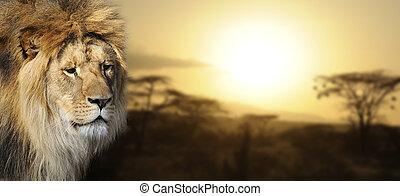 løve, portræt, hos, solnedgang
