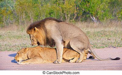 løver, (panthera, leo), parre, ind, den, vild