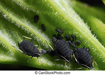 l colony of black bean aphids (Aphis fabae) on a plant stipe