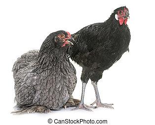 la Fleche and brahma chicken