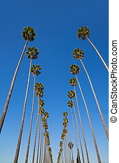 LA Los Angeles palm trees in a row typical California...