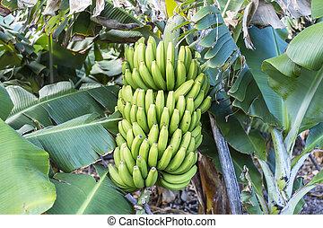 La Palma - Banana tree in Charco Azul