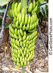 La Palma - Banana tree in San Andres