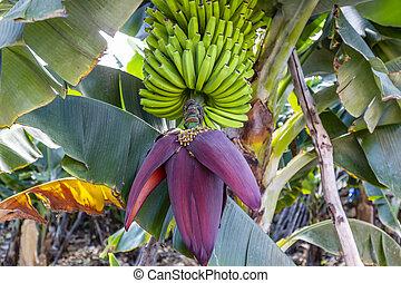 La Palma - Banana tree with blossom in Charco Azul