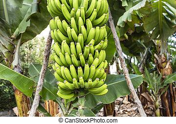 La Palma - Bananenstaude in San Andres