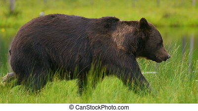 LAage adult brown bear walking and running free in the...