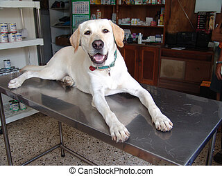 Lab at vet - Labrador retriever laying on a stainless steel...