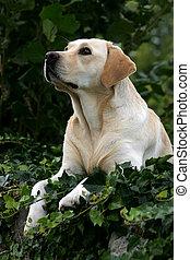 Labrador retriever looking up.