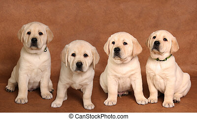 Lab puppy - Yellow labrador retriever pup on a brown ...