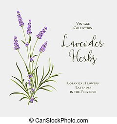 Label with lavender bush. Bunch of summer flowers on a white background.