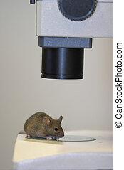 laboratoire, gros plan, souris, microscope, sous