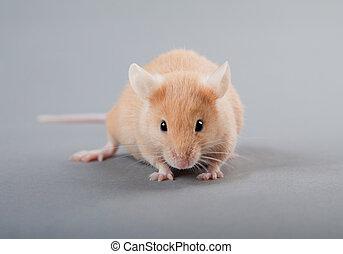 laboratorio, ratón