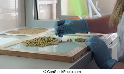 Laboratory assistant in the laboratory assay to test peas seed. Slow motion