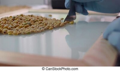 Laboratory assistant in the laboratory of of food culture assay to test genetically modified peas seed. Slow motion