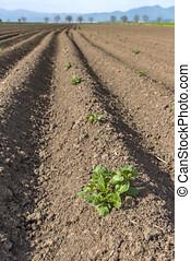labouré, récoltes, printemps, champ, pommes terre, frais