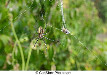 labourer, araignés, (wasp), cuit, attente, web-house, victime, sien