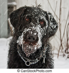 Portrait of a black labradoodle dog playing in the snow.